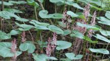Pinewort & Bead Lily