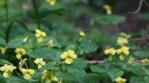 Pioneer Violet Flowers