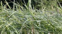 Dew Covered Meadow Grass