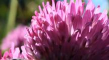 Close-Up Of Clover Blossoms