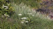Cow Parsnip & Beach Grass (Beach Rye)