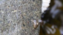Ligia Pallasii Isopod