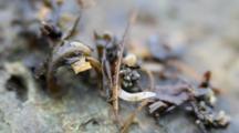Amphiporus Imparispinosus