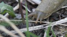 Banana Slug On Crawls On Forest Floor