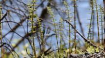 Horsetail Ferns On Shore