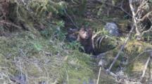 Mink Watching