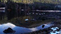 Trumpeter Swans In A Reflective Pond