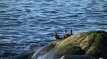 Harlequin Ducks On A Surf Rock