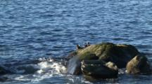 Harlequin Ducks On A Surf Rock-Zoom Out