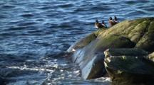 Harlequin Ducks On A Surf Rock-Zoom In