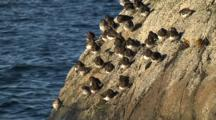Shorebirds Cling To A Surf Rock-Sandpipers
