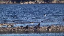 Barrow's Goldeneye And Ravens