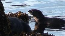 River Otter Exploring A Kelp Bed Along A  Beach.