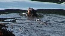 River Otter Swimming Out Into The Water And Diving For Food.