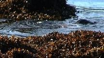 River Otters Playing In A Fucus Kelp Bed.  Southeast Alaska Beach
