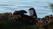 Two River Otters With A Flounder