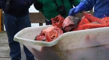 Unloading Rock Fish, Commercial Fishing Gear, Long Line Fishing, Commercial Fishing Boat