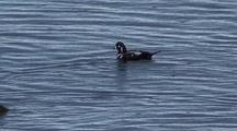 Sea Ducks (Harlequin Ducks)