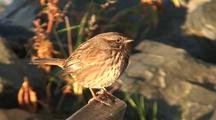 A Very Fat Savannah Sparrow