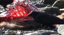 Ravens Feeding On A Winter Kill