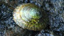 Limpet (China Hat) Intertidal Animal