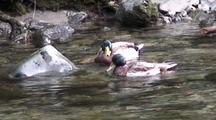 Mallard Ducks In A Very Clear Fast Stream