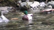 Mallard Duck In A Very Clear Fast Stream