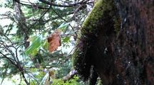 Water Dripping From Saturated Rain Forest Moss, Rock, And Forest Debris.