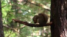 A Squirrel Feeding On A Tree Cone