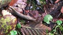 A Slug Crawling Through Forest Debris.