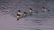 Common Merganser Ducks. (Males)