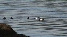 Sea Ducks (Common Mergansers) Diving For Fish.