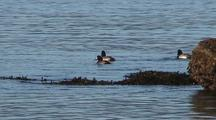 Sea Ducks (Scaups) Feeding Along A Shoreline.