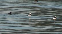 Sea Ducks (Buffleheads)  Feeding Along A Shoreline.