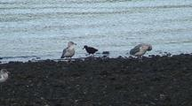 Oyster Catcher And Gulls  Feeding Along A Shoreline.
