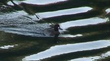 Harlequin Duck (Female) Feeding Along A Shoreline.