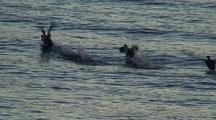 Sea Ducks (Mergansers) Taking Off.