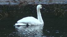 Trumpeter Swan Preens