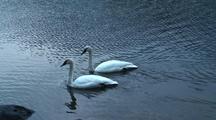 Trumpeter Swans Swim Near Shore