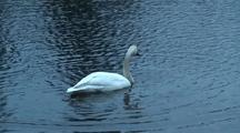 Trumpeter Swan Feeding