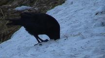 A Raven Digging For Food In A Snow Bank.