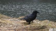 A Raven Walking Along A Grassy Bank.