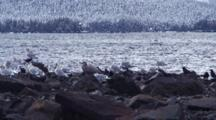 Winter Scene. Ravens & Gulls Riding Out A Storm.