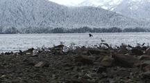 Winter Scene. Ravens & Gulls Riding Out A Storm. Taking Off And Landing.