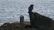Winter Scene.  A Raven And Great Blue Heron Exchange On A Isolated Ocean Beach.