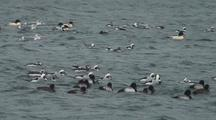 Storm, High Winds, And Rain. Mergansers, Sharped Tailed Ducks, Buffleheads, And Barrow's Goldeneye.