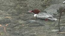 Common Merganser Duck (Female)  Feeding Around A Rock In A Fast Moving Stream