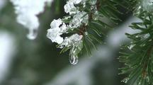 Snow Melting From A Sitka Spruce Tree Branch.