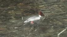 Common Merganser (Female)