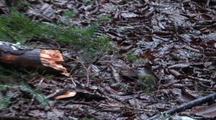 Yellow Rumped Warbler (Bird)